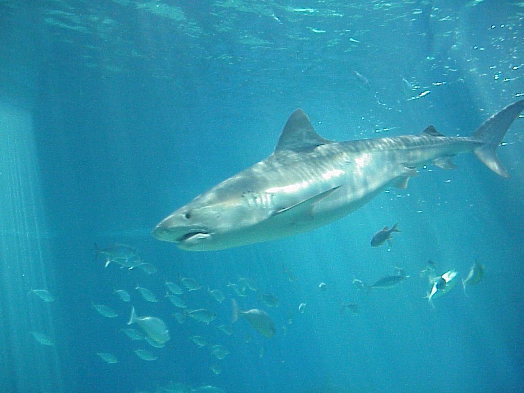 Big Sharks Pictures